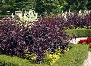Hibiscus Acetosella Master Gardener Program