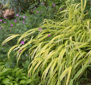 The slender, arching leaves give the effect of a tiny bamboo.