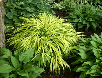 Hakonechloa macra performs well in shade.