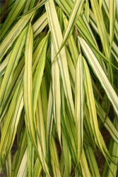 Variegated leaves of the cultivar 'Aureola'.