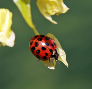 Multicolored Asian lady beetle.