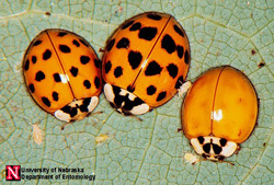 Multicolored Asian lady beetle is quite variable in color and spot patterns. Photo by Jim Kalisch, UNL Entomology.