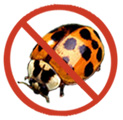 These ladybeetles can be a nuisance indoors.