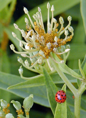 Aphids are the preferred food of multicolored Asian lady beetle.