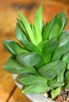 Etiolated haworthia