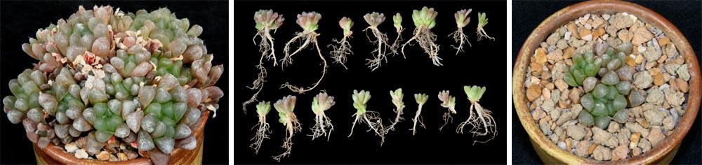 Haworthias Super Succulents For Small Spaces Master Gardener Program