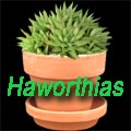 Haworthias – Super Succulents for Small Spaces Title Image