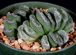 Haworthia truncata