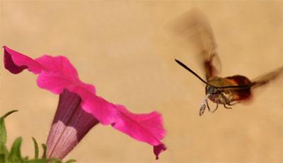 A hummingbird clearwing approaching a petunia flower.