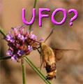 Hummingbird Moths Title Image
