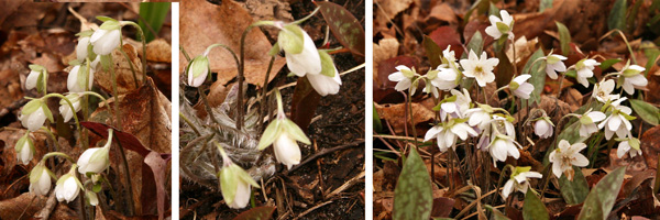 Hepatica beginning to bloom in early spring, from closed buds (L) to open flowers (R).