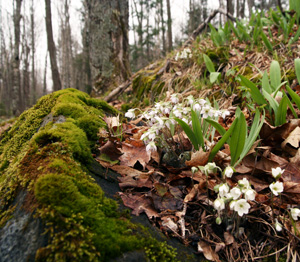 Hepatica blooming in a central Wisconsin woodland (with leaves of Allium tricoccum).