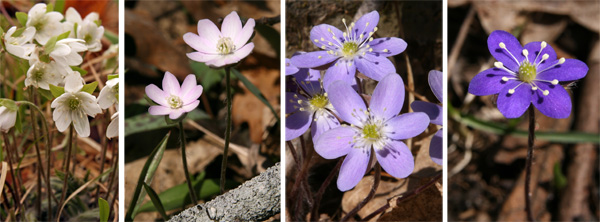 Hepatica flowers come in a range of colors from white (L), pink (LC), lavender (RC), and purple (R).