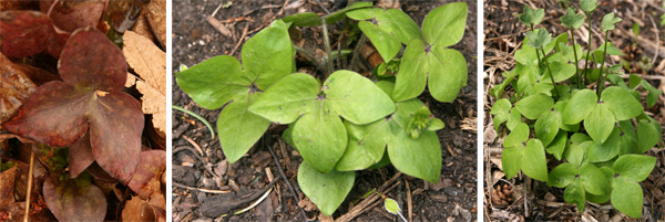 The previous years leaves (L), and new leaves (C and R) of sharp-leaved hepatica.