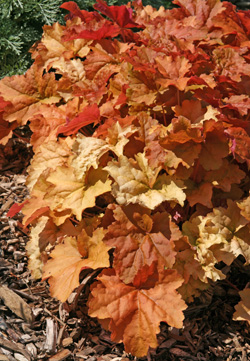 ngb s perennial of the year 2012 heuchera master. Black Bedroom Furniture Sets. Home Design Ideas
