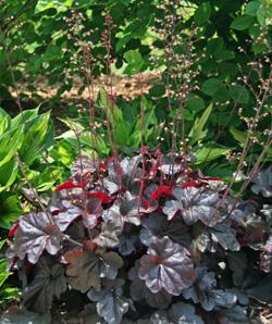 Heuchera Obsidian flowering.