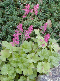 Green-leaved heuchera with bright pink flowers.
