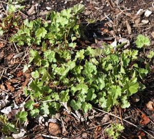 Heuchera sanguinea in early spring.