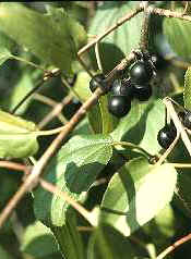 Buckthorn is an invasive shrub in Wisconsin.