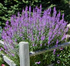 Purple loosestrife is a garden plant that has become an invasive plant.