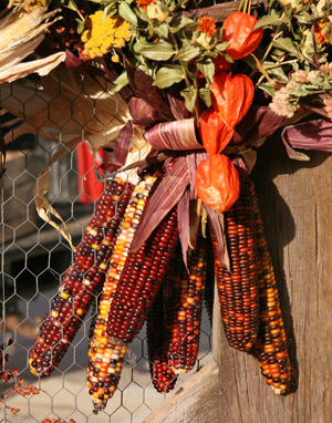 Many types of dried corn are used as decorations in the fall.