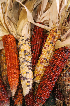 There are many different types of corn