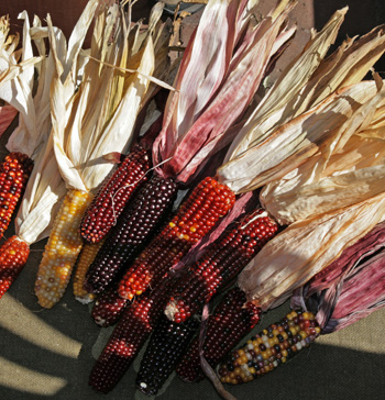Decorative corn with small ears.