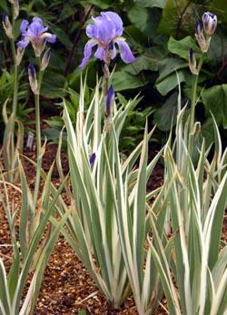 Iris Pallida Argentea Variegata At Rhs Garden Wisley In England