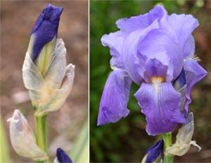 Iris pallida flowers.