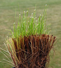 A trimmed fiber optic grass plant shows new growth