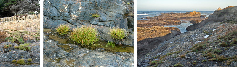 Native Isolepis cernua growing on the rocky coastline near Mendocino, CA