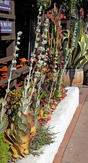 Flapjacks flowering in Southern California.