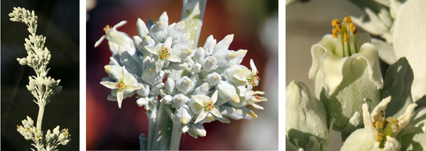 Inflorescence of Kalanchoe luciae (L), close-up of the panicle of flowers (C), and an individual flower showing the lanceolate white petals and yellow stamens (R).