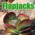 Flapjacks, Kalanchoe spp. Title Image