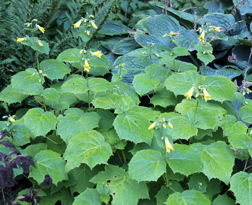 Yellow wax bells has large, palmate leaves.