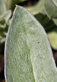 The leaves of rose campion are covered with fine hairs for a fuzzy appearance.