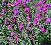 Rose campion adds a splash of bright color.