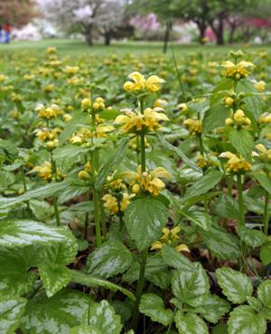Lamiastrum galeobdolon Variegatum blooming.