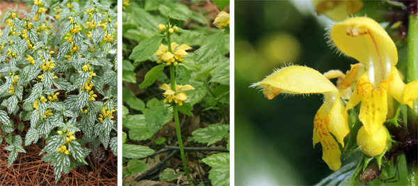 When in bloom (L), the flowers of yellow archangel are borne in verticillasters (C), and each tubular flower has a prominent upper petal or hood and lower lip characteristic of the mint family (R).
