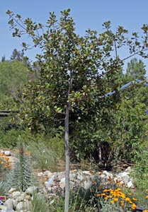 Laurus nobilis 'Saratoga', growing in Southern California.