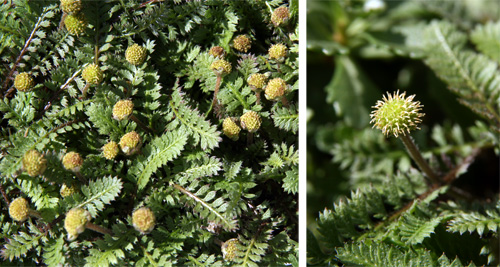 The tiny gold flowers give this plant its common name of brass buttons.