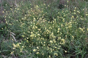 An infestation of yellow toadflax along a road.