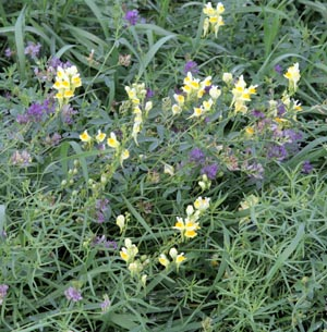 Yellow toadflax and clover blooming amid a grassy roadside.