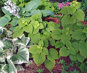 Lamium orvala combines well with other shade perennials.