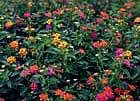 Lantana is a good choice for hot, dry areas.