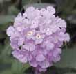 Lantana montevidensis (trailing lantana) produces purple flowers.