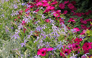 Grow laurentia in full sun to partial shade.