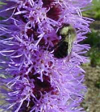 Liatris flowers are attractive to bees and butterflies.