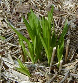 The grass-like foliage emerges in early spring.