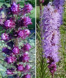 Liatris flowers.